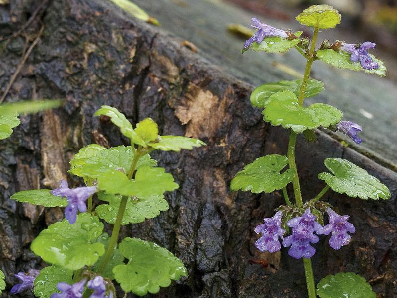 badasse plante sauvage