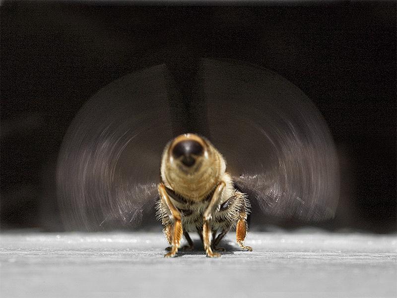 Une abeille ventileuse au travail